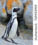 african penguin go ashore from...   Shutterstock . vector #769453909