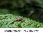 rhacophorus bipunctatus  double ...   Shutterstock . vector #769489699