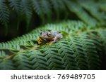 rhacophorus bipunctatus  double ...   Shutterstock . vector #769489705