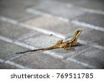 Lizard With Long Tail Sit On...