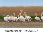 white pelicans in the danube... | Shutterstock . vector #76953067