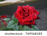 Close Up Of Beautiful Red Rose...