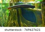 electric eel in freshwater...   Shutterstock . vector #769627621