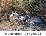 two juvenile spotted hyenas... | Shutterstock . vector #769645735