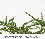 green creeper plant on a white... | Shutterstock . vector #769686421