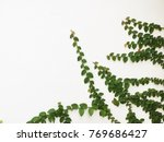 green creeper plant on a white... | Shutterstock . vector #769686427