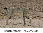 Small photo of African Wild Cat