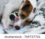 dog puppies jack russell... | Shutterstock . vector #769727731