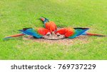 Small photo of Three red macaws feeding of seeds on the ground. Bird from Brazil, also known as Arara Vermelha.