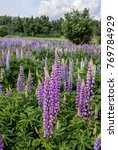 large leaved lupine  lupinus... | Shutterstock . vector #769784929