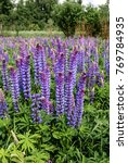 large leaved lupine  lupinus... | Shutterstock . vector #769784935