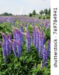 large leaved lupine  lupinus... | Shutterstock . vector #769784941