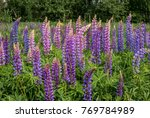 large leaved lupine  lupinus... | Shutterstock . vector #769784989