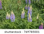 large leaved lupine  lupinus... | Shutterstock . vector #769785001
