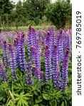 large leaved lupine  lupinus... | Shutterstock . vector #769785019