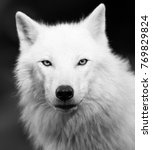 white wolf in black and white | Shutterstock . vector #769829824