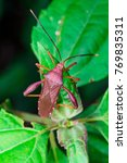 Small photo of Aerial view stink, Florida Leaf-footed Bug (Arthropoda: Insecta: Hemiptera: Heteroptera: Pentatomomorpha: Coreidae: Acanthocephala Femorata) crawling on a green leaf and isolated with soft background
