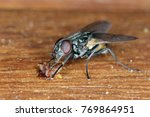 Small photo of The housefly Musca domestica. Common and burdensome insect in homes