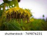 Dying Sunflower In Field