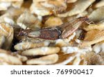 indian mealmoth or indianmeal... | Shutterstock . vector #769900417