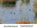 Coots And Waterbirds Between...