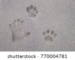 A Jaguar's Footprint Next To A...