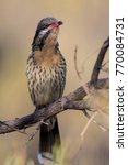 Small photo of Spiny-cheeked Honeyeater (Acanthagenys rufogularis) Redbank Gorge, Northern Territory, Australia