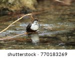 white throated dipper germany  | Shutterstock . vector #770183269