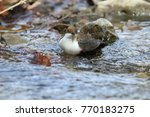 white throated dipper germany  | Shutterstock . vector #770183275