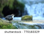 white throated dipper germany  | Shutterstock . vector #770183329