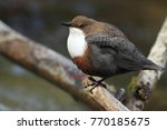 white throated dipper germany  | Shutterstock . vector #770185675