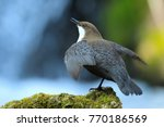 white throated dipper germany  | Shutterstock . vector #770186569