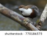 white throated dipper germany  | Shutterstock . vector #770186575