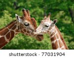 The Giraffe  Giraffa...