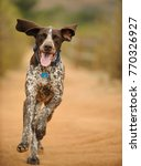 german shorthair pointer dog... | Shutterstock . vector #770326927