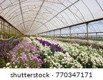 Stock photo eustoma prairie gentian lisianthus flower plantation 770347171