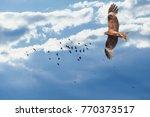 black kite  milvus migrans ...   Shutterstock . vector #770373517