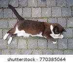 cute snowshoe cat life position ... | Shutterstock . vector #770385064