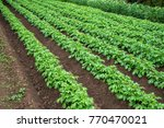 rows of young potato plants on... | Shutterstock . vector #770470021