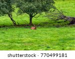 herd of mother elk with spotted ... | Shutterstock . vector #770499181