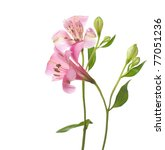 Stock photo alstroemeria flowers isolated on white background 77051236