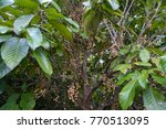 baccaurea ramiflora on the tree ...   Shutterstock . vector #770513095