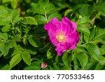 Stock photo wild pink roses 770533465