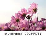 soft focus pink cosmos flowers... | Shutterstock . vector #770544751