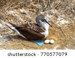 blue footed boobies  sula... | Shutterstock . vector #770577079