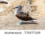 blue footed boobies  sula... | Shutterstock . vector #770577109