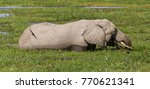 Female Elephant In Swamp And...