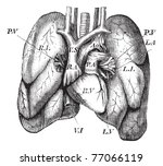 human heart and lungs  vintage... | Shutterstock .eps vector #77066119