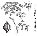 hemlock or poison hemlock or... | Shutterstock .eps vector #77066161