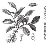 Cocaine or Coca or Erythroxylum coca, vintage engraving. Old engraved illustration of a Cocaine plant showing flowers. Trousset Encyclopedia